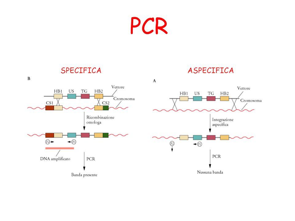 PCR ASPECIFICASPECIFICA