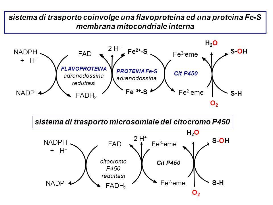 sistema di trasporto coinvolge una flavoproteina ed una proteina Fe-S membrana mitocondriale interna 2 H + NADPH + H + NADP + FAD citocromo P450 redut