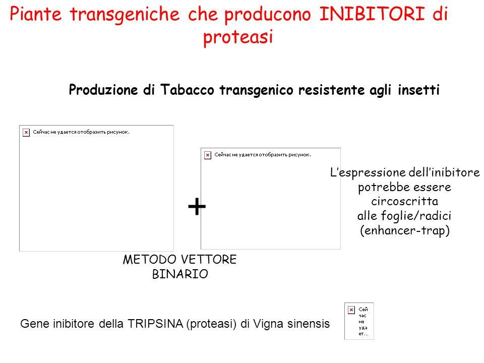 Piante transgeniche che producono INIBITORI di proteasi Produzione di Tabacco transgenico resistente agli insetti + METODO VETTORE BINARIO Gene inibitore della TRIPSINA (proteasi) di Vigna sinensis Lespressione dellinibitore potrebbe essere circoscritta alle foglie/radici (enhancer-trap)