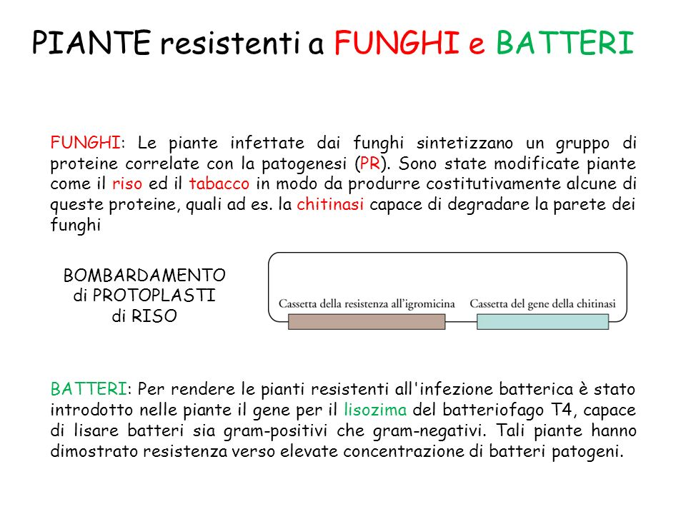PIANTE resistenti a FUNGHI e BATTERI FUNGHI: Le piante infettate dai funghi sintetizzano un gruppo di proteine correlate con la patogenesi (PR). Sono
