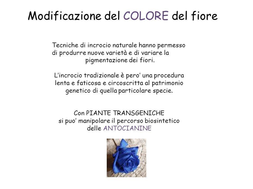 Modificazione del COLORE del fiore Tecniche di incrocio naturale hanno permesso di produrre nuove varietà e di variare la pigmentazione dei fiori.