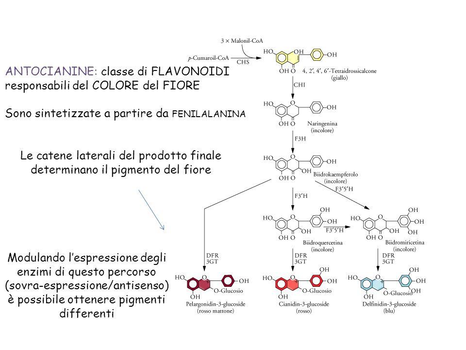 ANTOCIANINE: classe di FLAVONOIDI responsabili del COLORE del FIORE Sono sintetizzate a partire da FENILALANINA Le catene laterali del prodotto finale determinano il pigmento del fiore Modulando lespressione degli enzimi di questo percorso (sovra-espressione/antisenso) è possibile ottenere pigmenti differenti
