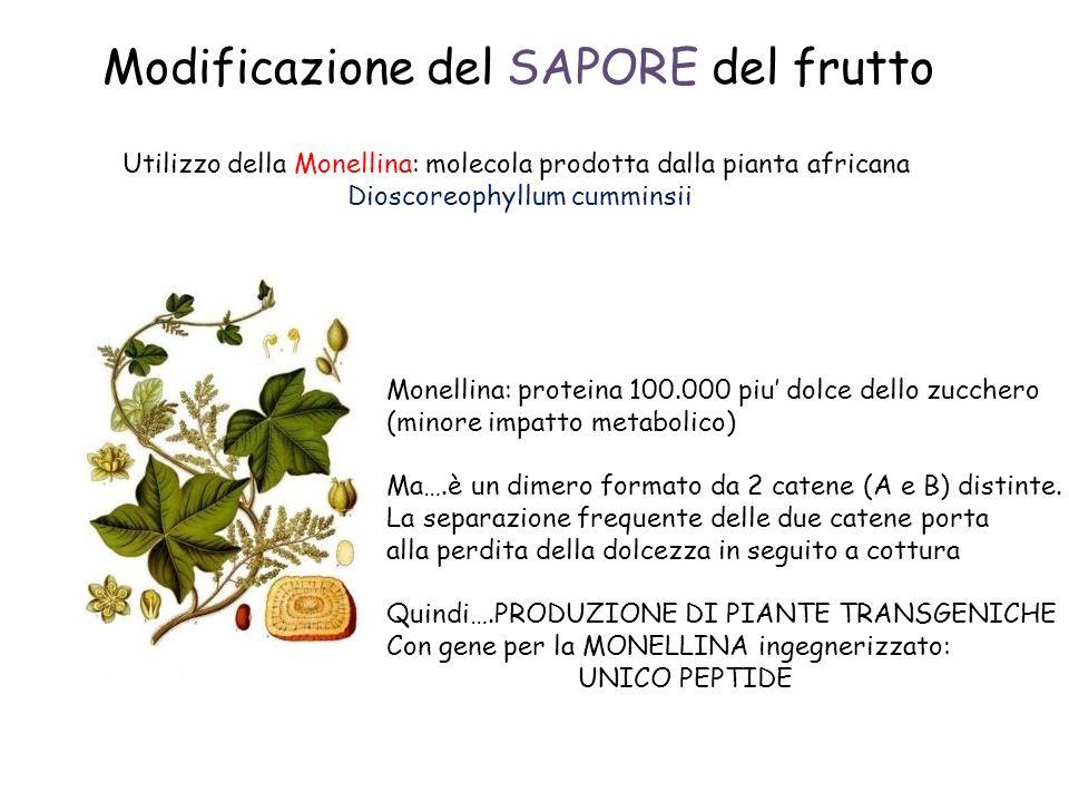 Modificazione del SAPORE del frutto Utilizzo della Monellina: molecola prodotta dalla pianta africana Dioscoreophyllum cumminsii Monellina: proteina 100.000 piu dolce dello zucchero (minore impatto metabolico) Ma….è un dimero formato da 2 catene (A e B) distinte.