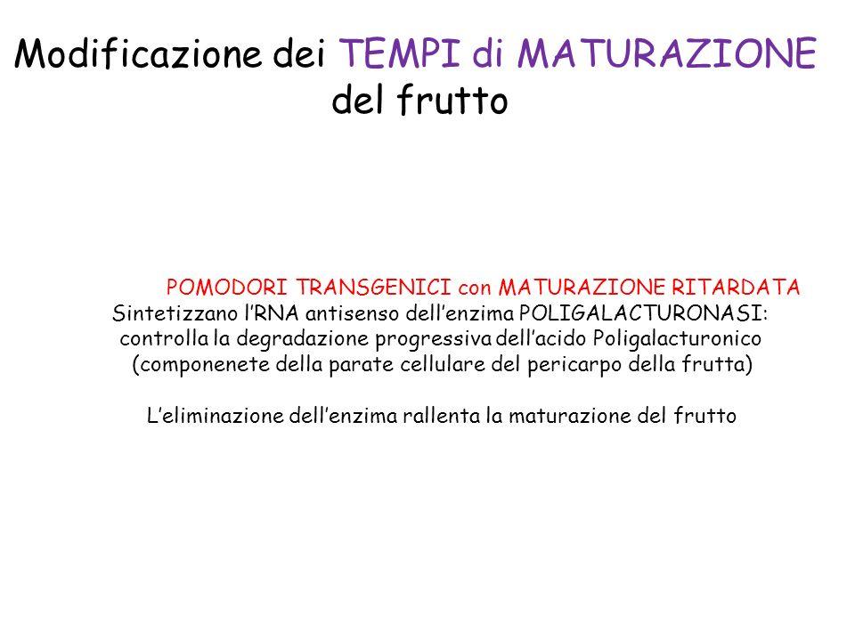 Modificazione dei TEMPI di MATURAZIONE del frutto POMODORI TRANSGENICI con MATURAZIONE RITARDATA Sintetizzano lRNA antisenso dellenzima POLIGALACTURONASI: controlla la degradazione progressiva dellacido Poligalacturonico (componenete della parate cellulare del pericarpo della frutta) Leliminazione dellenzima rallenta la maturazione del frutto