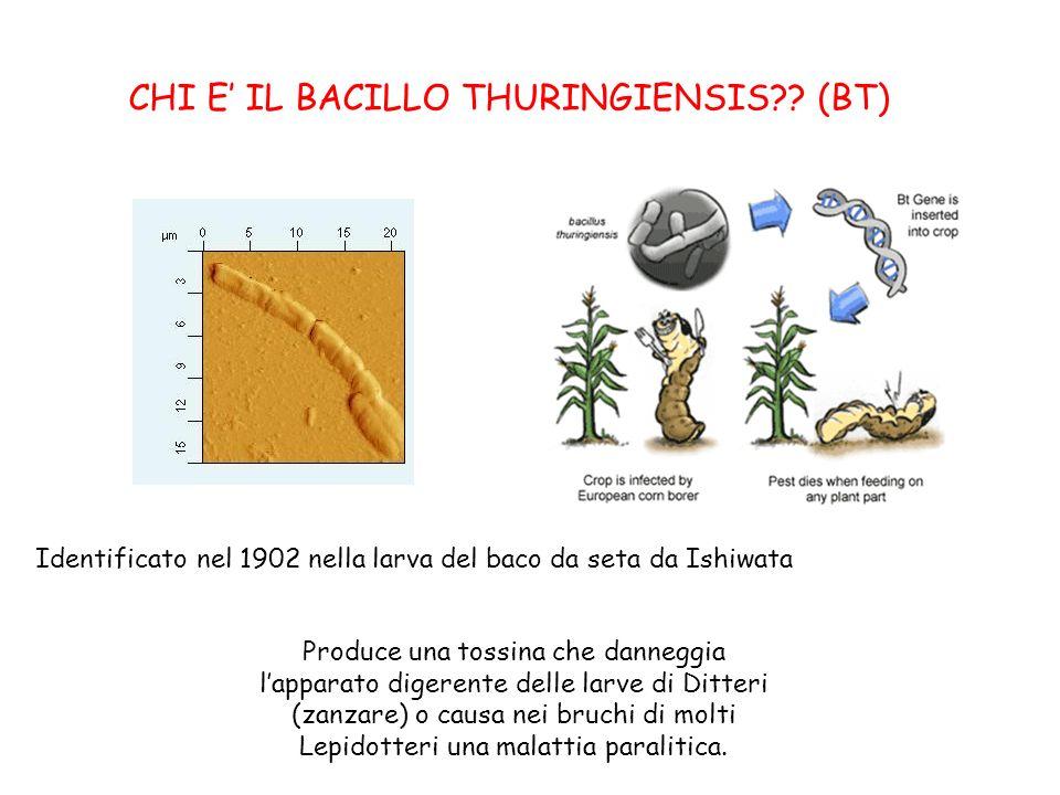 CHI E IL BACILLO THURINGIENSIS?? (BT) Identificato nel 1902 nella larva del baco da seta da Ishiwata Produce una tossina che danneggia lapparato diger