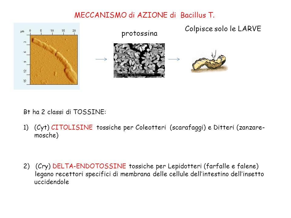 protossina Bt ha 2 classi di TOSSINE: 1)(Cyt) CITOLISINE tossiche per Coleotteri (scarafaggi) e Ditteri (zanzare- mosche) 2) (Cry) DELTA-ENDOTOSSINE tossiche per Lepidotteri (farfalle e falene) legano recettori specifici di membrana delle cellule dellintestino dellinsetto uccidendole MECCANISMO di AZIONE di Bacillus T.