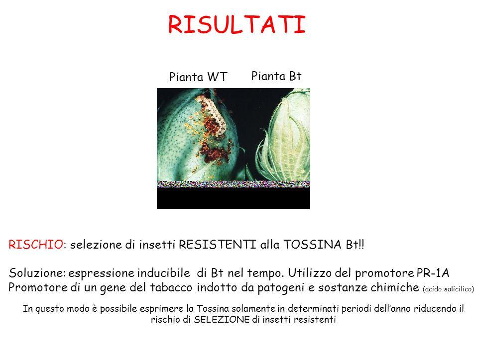 RISULTATI Pianta Bt Pianta WT RISCHIO: selezione di insetti RESISTENTI alla TOSSINA Bt!! Soluzione: espressione inducibile di Bt nel tempo. Utilizzo d
