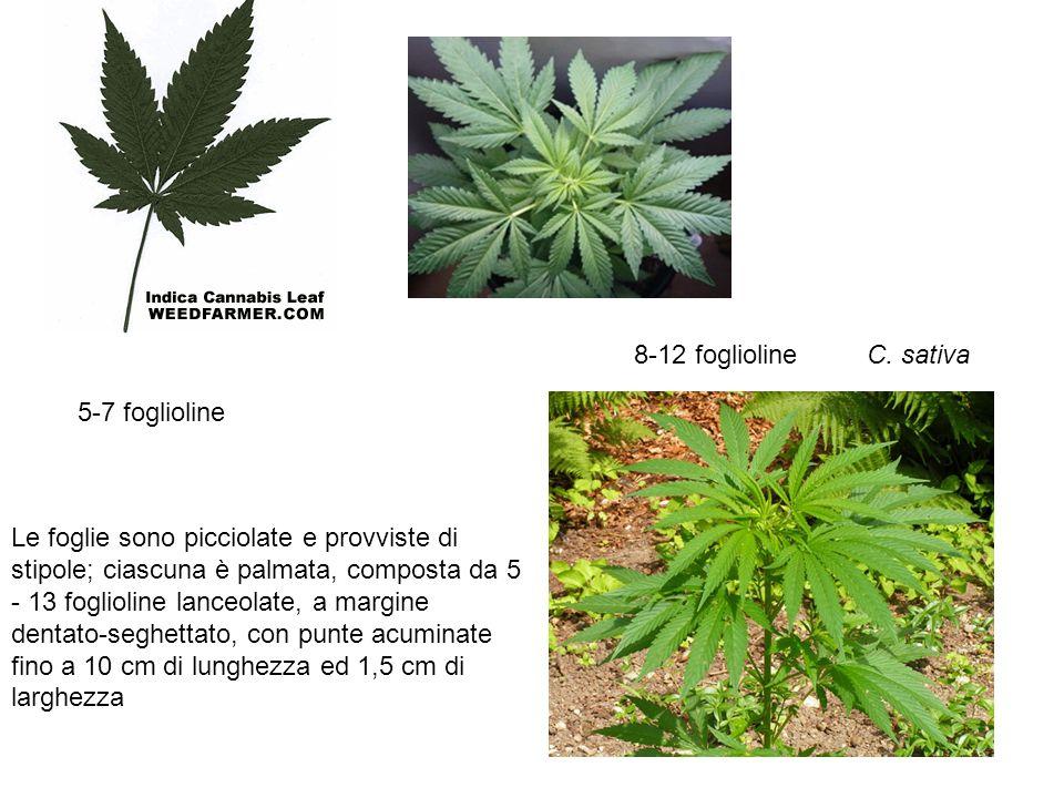 C. sativa Le foglie sono picciolate e provviste di stipole; ciascuna è palmata, composta da 5 - 13 foglioline lanceolate, a margine dentato-seghettato
