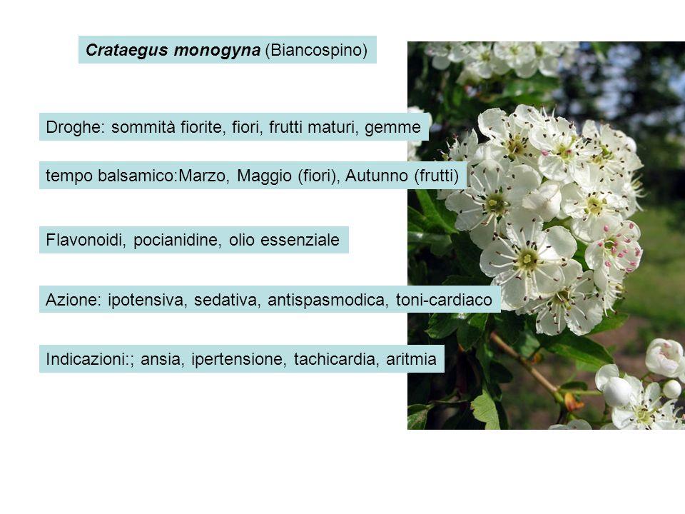 Crataegus monogyna (Biancospino) Droghe: sommità fiorite, fiori, frutti maturi, gemme tempo balsamico:Marzo, Maggio (fiori), Autunno (frutti) Flavonoi