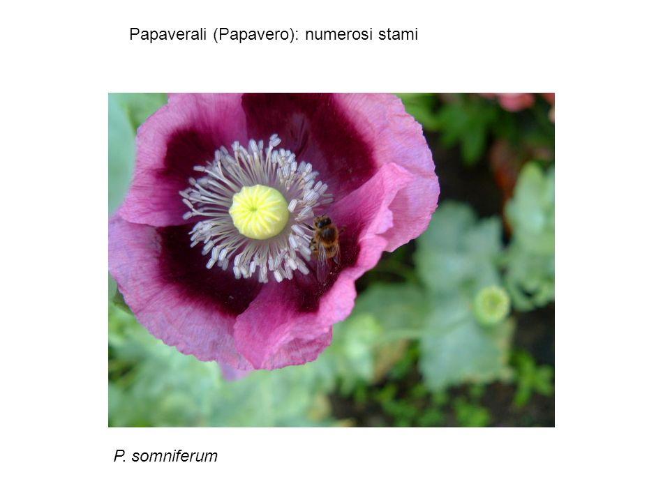 Papaverali (Papavero): numerosi stami P. somniferum
