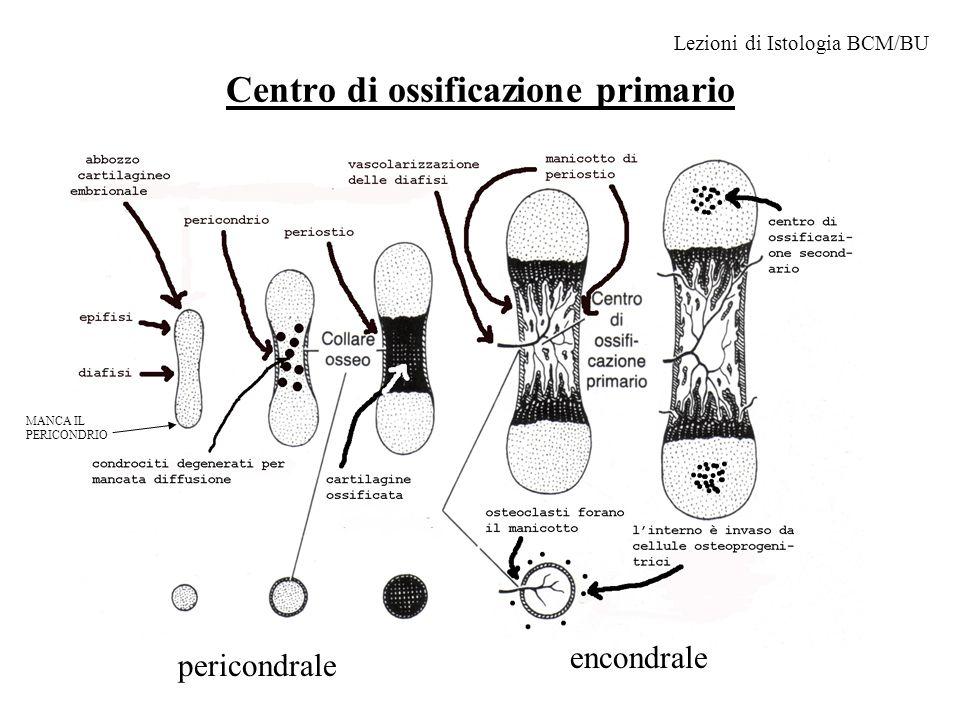 Centro di ossificazione primario pericondrale encondrale Lezioni di Istologia BCM/BU MANCA IL PERICONDRIO