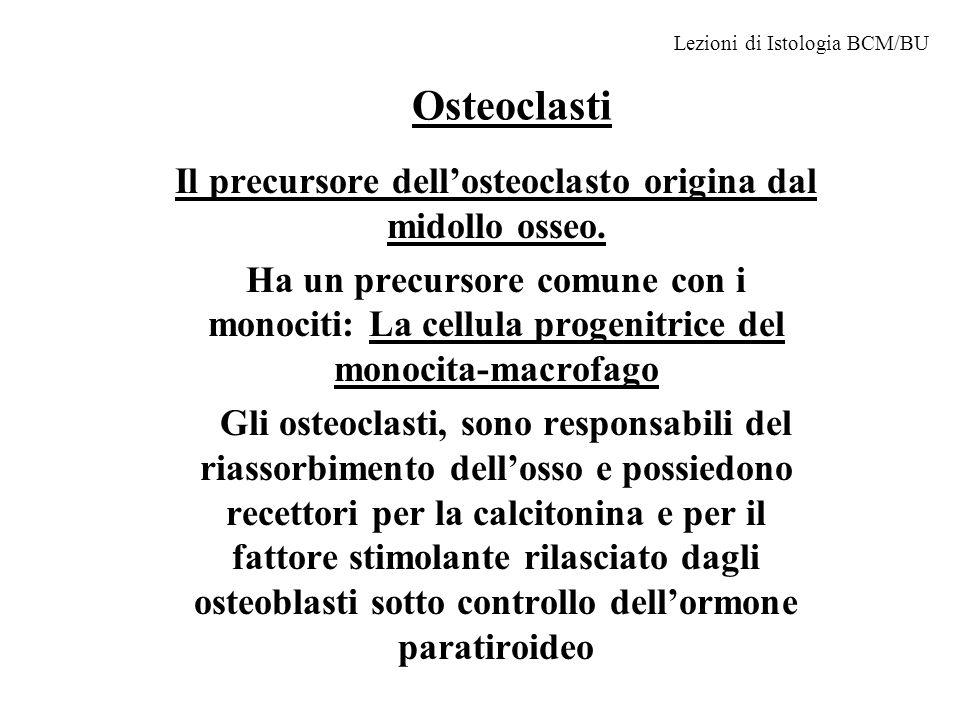 Osteoclasti Il precursore dellosteoclasto origina dal midollo osseo. Ha un precursore comune con i monociti: La cellula progenitrice del monocita-macr