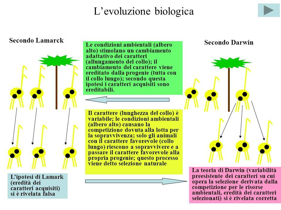 Levoluzione biologica Secondo Lamarck Secondo Darwin Le condizioni ambientali (albero alto) stimolano un cambiamento adattativo dei caratteri (allungamento del collo); il cambiamento del carattere viene ereditato dalla progenie (tutta con il collo lungo); secondo questa ipotesi i caratteri acquisiti sono ereditabili.
