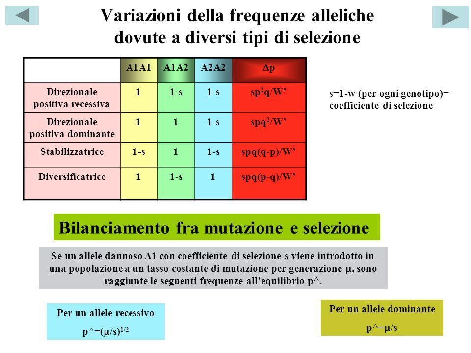 Variazioni della frequenze alleliche dovute a diversi tipi di selezione A1A1A1A2A2A2 p Direzionale positiva recessiva 11-s sp 2 q/W Direzionale positiva dominante 111-sspq 2 /W Stabilizzatrice1-s1 spq(q-p)/W Diversificatrice11-s1spq(p-q)/W s=1-w (per ogni genotipo)= coefficiente di selezione Bilanciamento fra mutazione e selezione Per un allele recessivo p^=( /s) 1/2 Per un allele dominante p^= /s Se un allele dannoso A1 con coefficiente di selezione s viene introdotto in una popolazione a un tasso costante di mutazione per generazione, sono raggiunte le seguenti frequenze allequilibrio p^.