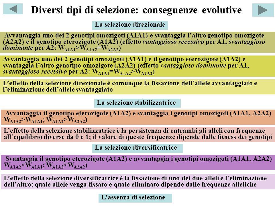 Diversi tipi di selezione: conseguenze evolutive La selezione direzionale Avvantaggia uno dei 2 genotipi omozigoti (A1A1) e svantaggia laltro genotipo omozigote (A2A2) e il genotipo eterozigote (A1A2) (effetto vantaggioso recessivo per A1, svantaggioso dominante per A2: W A1A1 >W A1A2 =W A2A2 ) Avvantaggia uno dei 2 genotipi omozigoti (A1A1) e il genotipo eterozigote (A1A2) e svantaggia laltro genotipo omozigote (A2A2) (effetto vantaggioso dominante per A1, svantaggioso recessivo per A2: W A1A1 =W A1A2 >W A2A2 ) Leffetto della selezione direzionale è comunque la fissazione dellallele avvantaggiato e leliminazione dellallele svantaggiato La selezione stabilizzatrice La selezione diversificatrice Avvantaggia il genotipo eterozigote (A1A2) e svantaggia i genotipi omozigoti (A1A1, A2A2) W A1A2 >W A1A1 ; W A1A2 >W A2A2 ) Svantaggia il genotipo eterozigote (A1A2) e avvantaggia i genotipi omozigoti (A1A1, A2A2) W A1A2 <W A1A1 ; W A1A2 <W A2A2 ) Leffetto della selezione diversificatrice è la fissazione di uno dei due alleli e leliminazione dellaltro; quale allele venga fissato e quale eliminato dipende dalle frequenze alleliche Lassenza di selezione Leffetto della selezione stabilizzatrice è la persistenza di entrambi gli alleli con frequenze allequilibrio diverse da 0 e 1; il valore di queste frequenze dipende dalle fitness dei genotipi