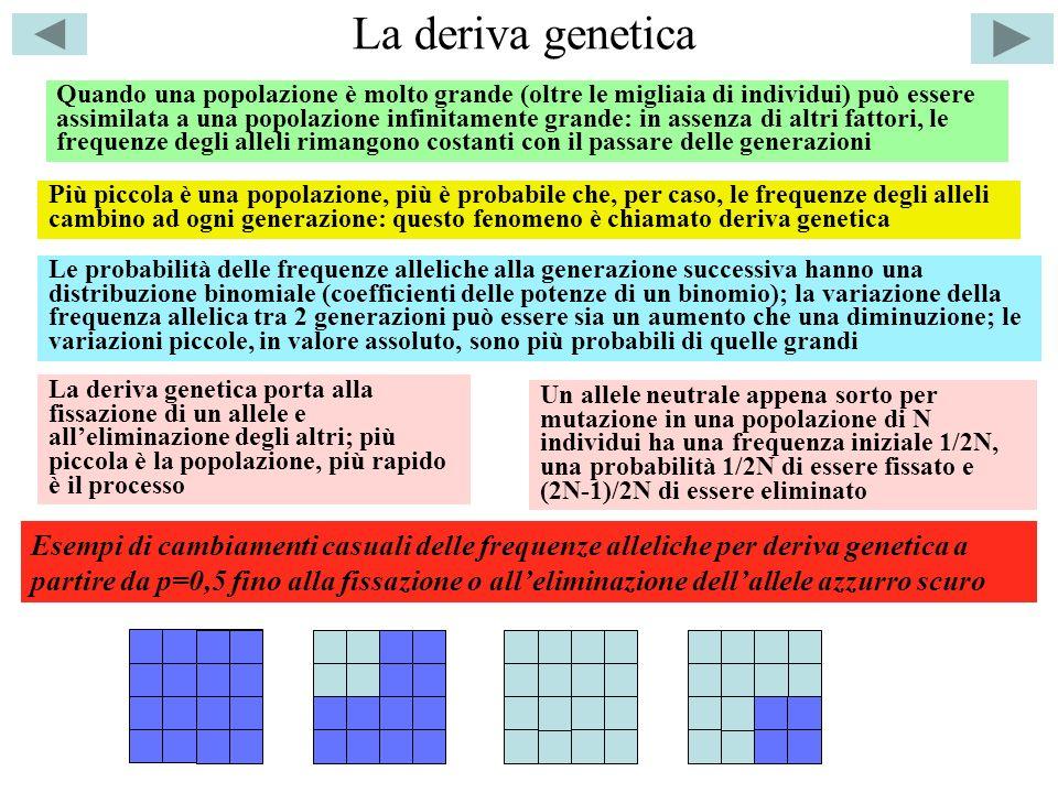 La deriva genetica Quando una popolazione è molto grande (oltre le migliaia di individui) può essere assimilata a una popolazione infinitamente grande: in assenza di altri fattori, le frequenze degli alleli rimangono costanti con il passare delle generazioni Più piccola è una popolazione, più è probabile che, per caso, le frequenze degli alleli cambino ad ogni generazione: questo fenomeno è chiamato deriva genetica Le probabilità delle frequenze alleliche alla generazione successiva hanno una distribuzione binomiale (coefficienti delle potenze di un binomio); la variazione della frequenza allelica tra 2 generazioni può essere sia un aumento che una diminuzione; le variazioni piccole, in valore assoluto, sono più probabili di quelle grandi La deriva genetica porta alla fissazione di un allele e alleliminazione degli altri; più piccola è la popolazione, più rapido è il processo Un allele neutrale appena sorto per mutazione in una popolazione di N individui ha una frequenza iniziale 1/2N, una probabilità 1/2N di essere fissato e (2N-1)/2N di essere eliminato Esempi di cambiamenti casuali delle frequenze alleliche per deriva genetica a partire da p=0,5 fino alla fissazione o alleliminazione dellallele azzurro scuro