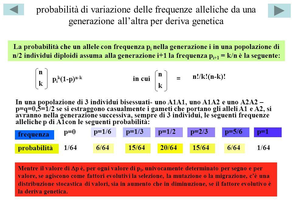 probabilità di variazione delle frequenze alleliche da una generazione allaltra per deriva genetica p=0 p=1/6p=1/3p=1/2p=2/3p=5/6p=1 frequenza probabilità 1/64 6/64 15/64 20/64 In una popolazione di 3 individui bisessuati- uno A1A1, uno A1A2 e uno A2A2 – p=q=0,5=1/2 se si estraggono casualmente i gameti che portano gli alleli A1 e A2, si avranno nella generazione successiva, sempre di 3 individui, le seguenti frequenze alleliche p di A1con le seguenti probabilità: La probabilità che un allele con frequenza p i nella generazione i in una popolazione di n/2 individui diploidi assuma alla generazione i+1 la frequenza p i+1 = k/n è la seguente: n k p i k (1-p) n-k in cui n k = n!/k!(n-k).