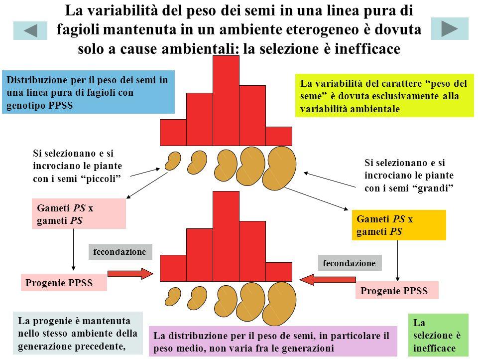 La variabilità del peso dei semi in una linea pura di fagioli mantenuta in un ambiente eterogeneo è dovuta solo a cause ambientali: la selezione è inefficace Distribuzione per il peso dei semi in una linea pura di fagioli con genotipo PPSS La variabilità del carattere peso del seme è dovuta esclusivamente alla variabilità ambientale Si selezionano e si incrociano le piante con i semi piccoli Si selezionano e si incrociano le piante con i semi grandi Gameti PS x gameti PS fecondazione Progenie PPSS La progenie è mantenuta nello stesso ambiente della generazione precedente, La distribuzione per il peso de semi, in particolare il peso medio, non varia fra le generazioni La selezione è inefficace