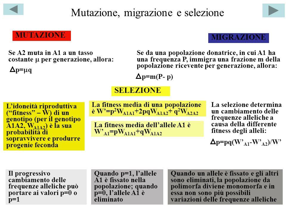 Mutazione, migrazione e selezione MIGRAZIONE MUTAZIONE p= q Se A2 muta in A1 a un tasso costante per generazione, allora: Se da una popolazione donatrice, in cui A1 ha una frequenza P, immigra una frazione m della popolazione ricevente per generazione, allora: p=m(P- p) Quando p=1, lallele A1 è fissato nella popolazione; quando p=0, lallele A1 è eliminato Quando un allele è fissato e gli altri sono eliminati, la popolazione da polimorfa diviene monomorfa e in essa non sono più possibili variazioni delle frequenze alleliche Lidoneità riproduttiva (fitness – W) di un genotipo (per il genotipo A1A2, W A1A2 ) è la sua probabilità di sopravvivere e produrre progenie feconda SELEZIONE La fitness media di una popolazione è W=p 2 W A1A1 +2pqW A1A2 + q 2 W A2A2 La fitness media dellallele A1 è W A1 =pW A1A1 +qW A1A2 La selezione determina un cambiamento delle frequenze alleliche a causa della differente fitness degli alleli: p=pq(W A1 -W A2 )/W Il progressivo cambiamento delle frequenze alleliche può portare ai valori p=0 o p=1