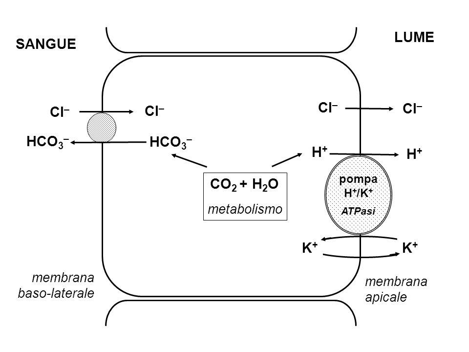 K+K+ K+K+ SANGUE LUME Cl – HCO 3 – CO 2 + H 2 O metabolismo H+H+ H+H+ pompa H + /K + ATPasi membrana apicale membrana baso-laterale HCO 3 –