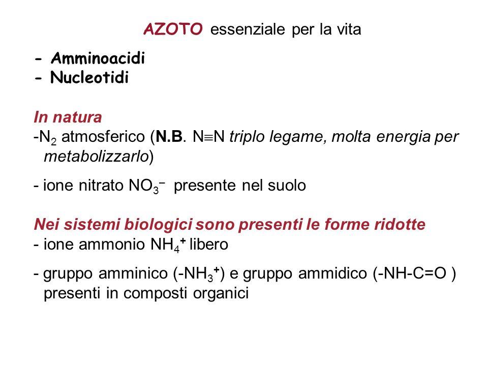 AZOTO essenziale per la vita - Amminoacidi - Nucleotidi In natura -N 2 atmosferico (N.B. N N triplo legame, molta energia per metabolizzarlo) - ione n