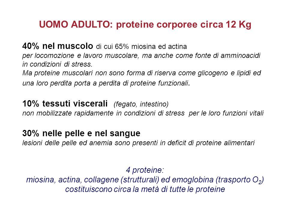 UOMO ADULTO: proteine corporee circa 12 Kg 40% nel muscolo di cui 65% miosina ed actina per locomozione e lavoro muscolare, ma anche come fonte di amm
