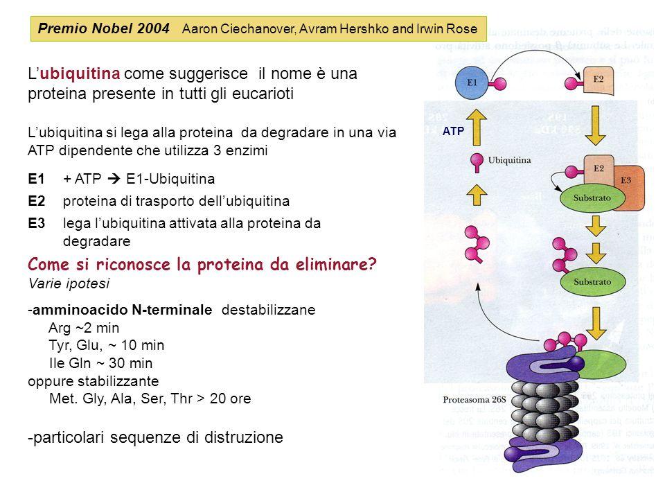 Lubiquitina come suggerisce il nome è una proteina presente in tutti gli eucarioti Lubiquitina si lega alla proteina da degradare in una via ATP dipen