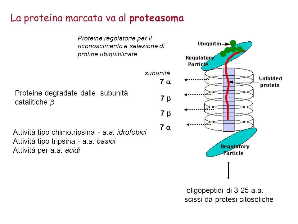 oligopeptidi di 3-25 a.a. scissi da protesi citosoliche La proteina marcata va al proteasoma Attività tipo chimotripsina -a.a. idrofobici Attività tip