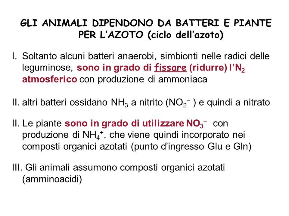 GLI ANIMALI DIPENDONO DA BATTERI E PIANTE PER LAZOTO (ciclo dellazoto) I.Soltanto alcuni batteri anaerobi, simbionti nelle radici delle leguminose, so