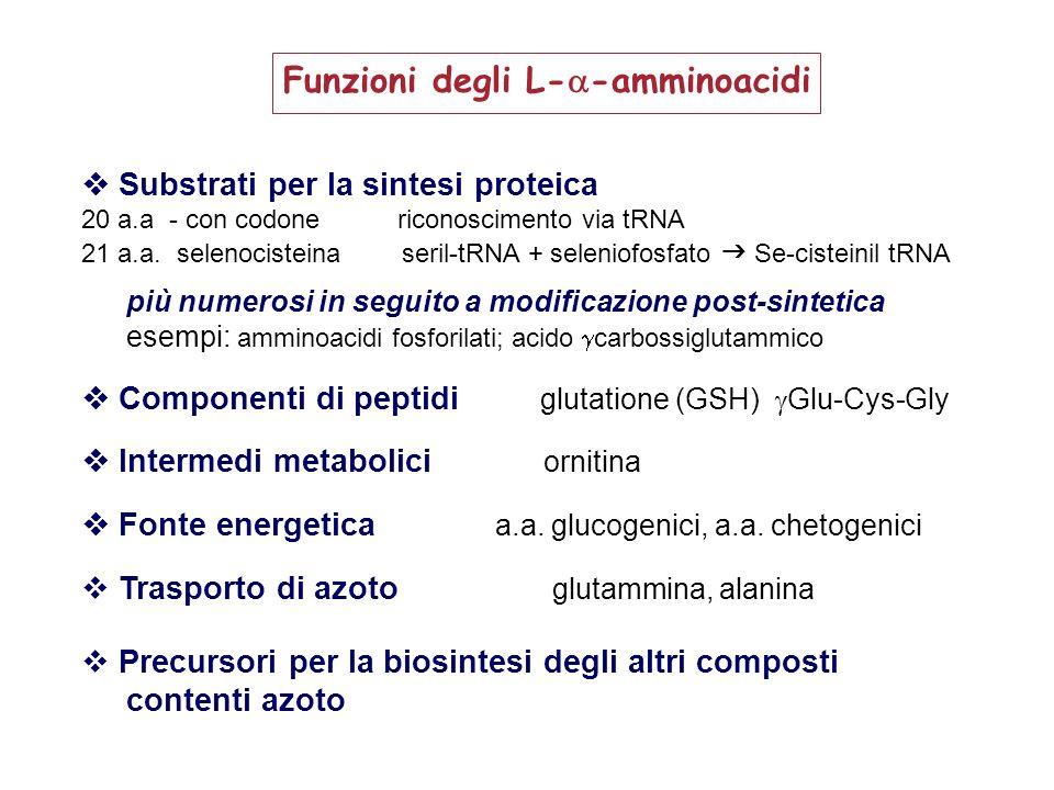 composti derivatiamminoacidi precursori –––––––––––––––––––––––––––––––––––––––––––––––––––––––––– Eme glicina (+ succinil CoA) Nucleotidi glutammina, glicina, acido aspartico Carnitina lisina, metionina Creatinaarginina, glicina, metionina Ammine biogene, i stidina ( istamina) triptofano ( serotonina ) Tiroxina, adrenalina tirosina Taurina (nei sali biliari) cisteina Niacina triptofano