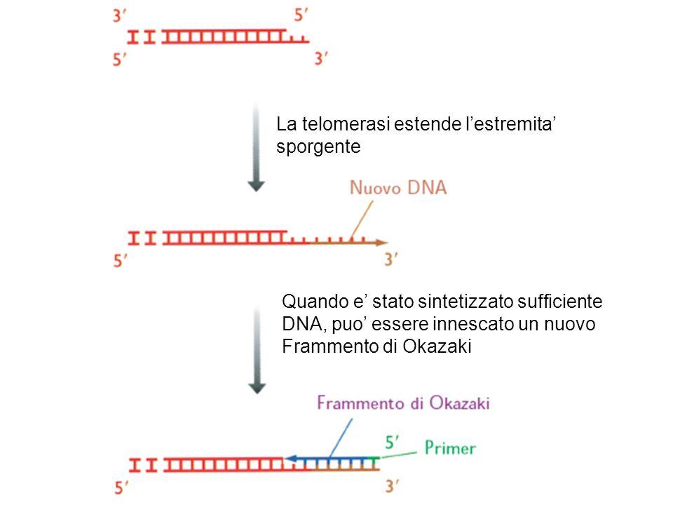 La telomerasi estende lestremita sporgente Quando e stato sintetizzato sufficiente DNA, puo essere innescato un nuovo Frammento di Okazaki