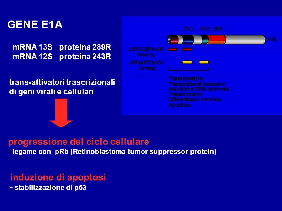 GENE E1A progressione del ciclo cellulare - legame con pRb (Retinoblastoma tumor suppressor protein) trans-attivatori trascrizionali di geni virali e