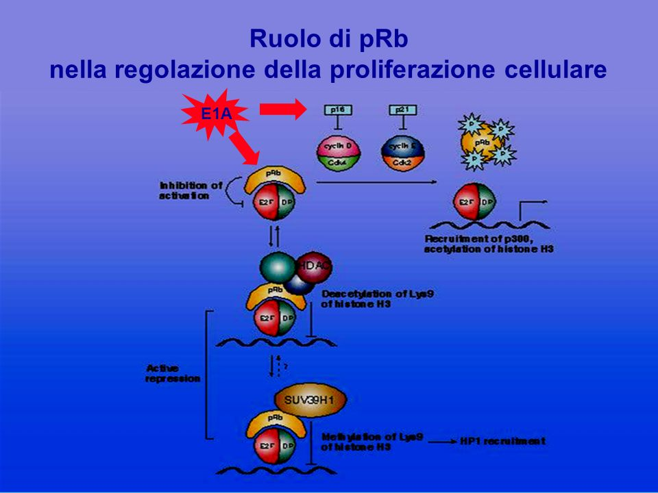 Ruolo di pRb nella regolazione della proliferazione cellulare E1A