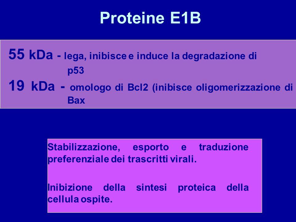 Proteine E1B 55 kDa - lega, inibisce e induce la degradazione di p53 19 kDa - omologo di Bcl2 (inibisce oligomerizzazione di Bax Stabilizzazione, espo