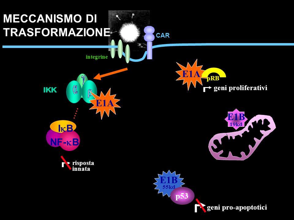 CAR E1A pRB geni proliferativi E1B 55kd p53 geni pro-apoptotici I B NF- B risposta innata E1A E1B 19kd integrine MECCANISMO DI TRASFORMAZIONE