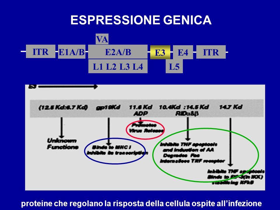 ESPRESSIONE GENICA ITR E1A/B L5 E2A/B ITR E3 L1 L2 L3 L4 VA E4 proteine che regolano la risposta della cellula ospite allinfezione