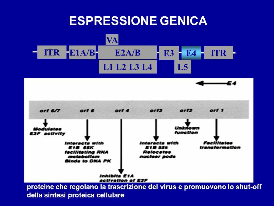 ESPRESSIONE GENICA ITR E1A/B L5 E2A/B ITR E3 L1 L2 L3 L4 VA E4 proteine che regolano la trascrizione del virus e promuovono lo shut-off della sintesi
