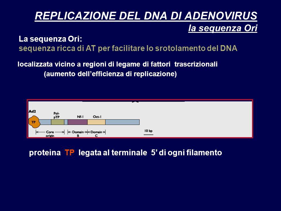 REPLICAZIONE DEL DNA DI ADENOVIRUS la sequenza Ori La sequenza Ori: sequenza ricca di AT per facilitare lo srotolamento del DNA localizzata vicino a r