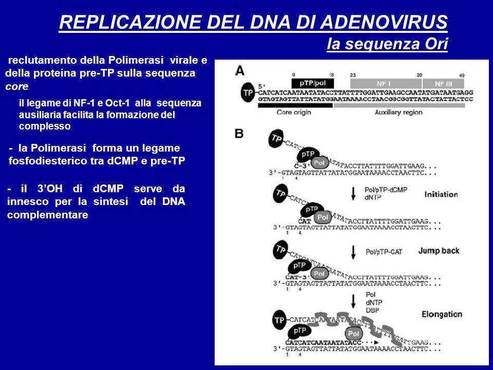 REPLICAZIONE DEL DNA DI ADENOVIRUS la sequenza Ori - la Polimerasi forma un legame fosfodiesterico tra dCMP e pre-TP il legame di NF-1 e Oct-1 alla se