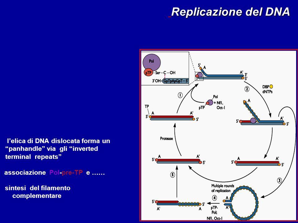 From Flint et al. Principles of Virology (2000), ASM Press lelica di DNA dislocata forma un panhandle via gli inverted terminal repeats associazione P