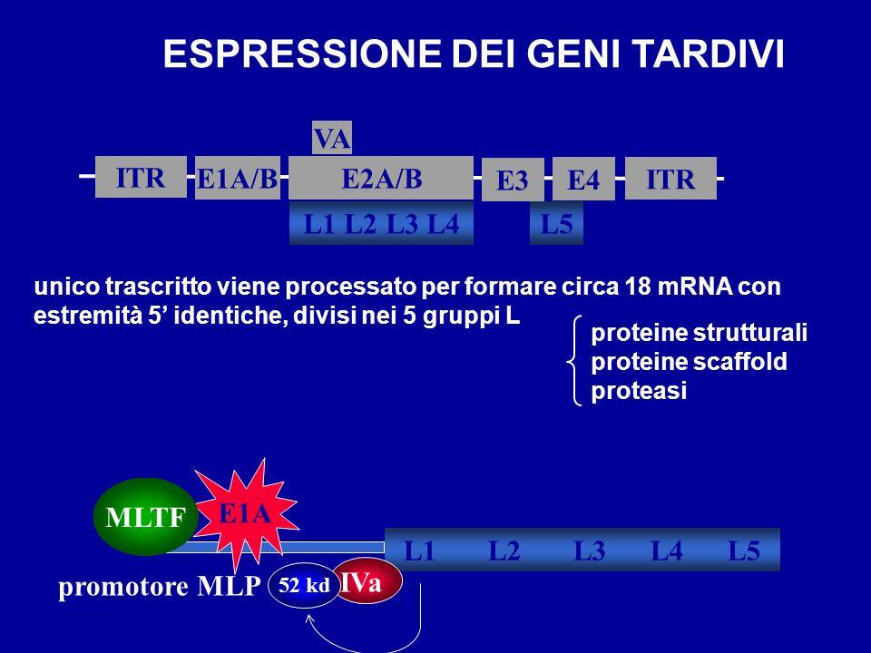 ESPRESSIONE DEI GENI TARDIVI ITR E1A/B L5 E2A/B ITR E3 L1 L2 L3 L4 VA E4 promotore MLP L1 L2 L3 L4 L5 E1A MLTF IVa 52 kd unico trascritto viene proces