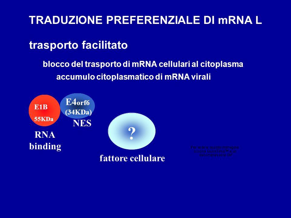 E4 orf6 (34KDa) E1B 55KDa accumulo citoplasmatico di mRNA virali RNA binding NES blocco del trasporto di mRNA cellulari al citoplasma ? TRADUZIONE PRE