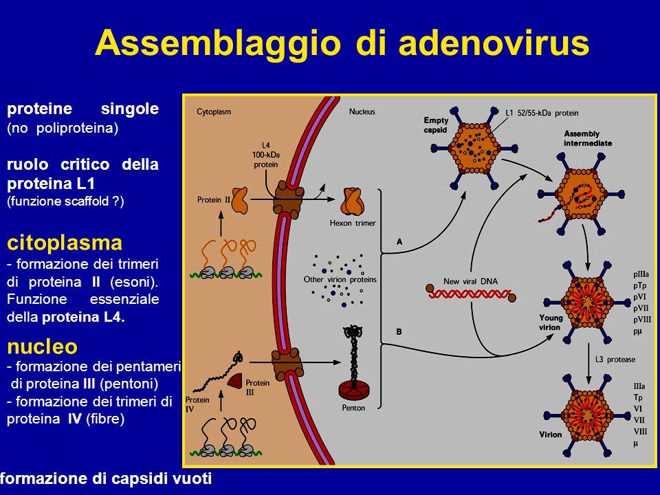 Assemblaggio di adenovirus proteine singole (no poliproteina) ruolo critico della proteina L1 (funzione scaffold ?) citoplasma - formazione dei trimer