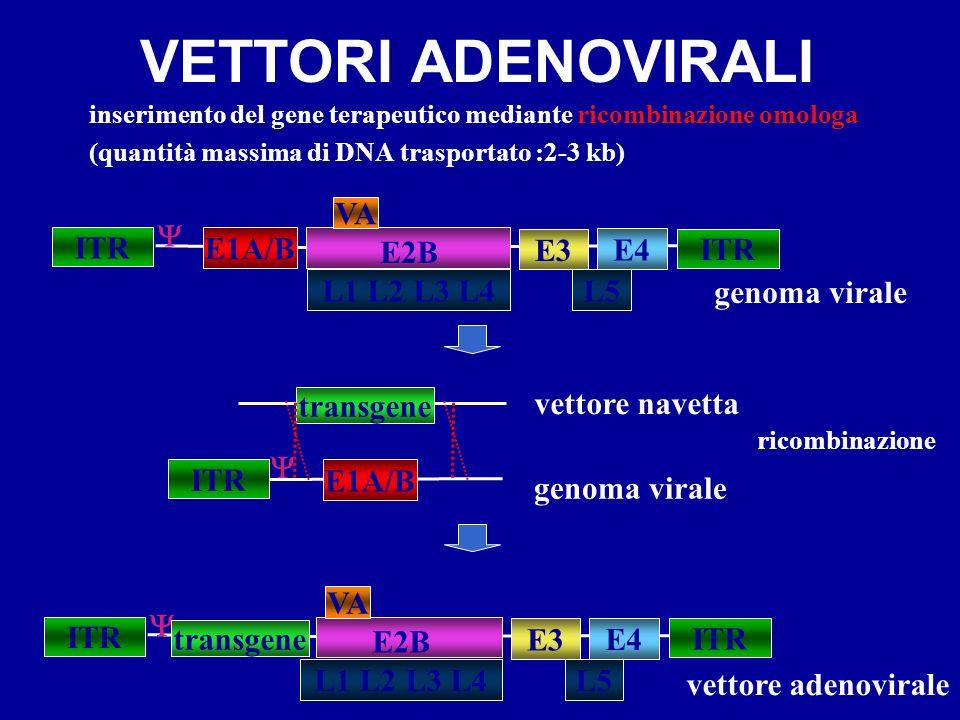 VETTORI ADENOVIRALI inserimento del gene terapeutico mediante ricombinazione omologa (quantità massima di DNA trasportato :2-3 kb) ITR E1A/B L5 E2B IT