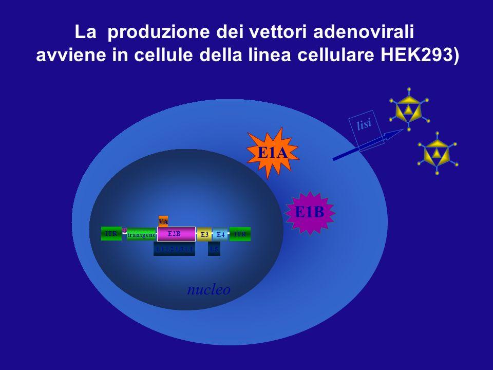 293 cell La produzione dei vettori adenovirali avviene in cellule della linea cellulare HEK293) E1A E1B ITR L5 E2B ITR E3 L1 L2 L3 L4 VA E4 transgene