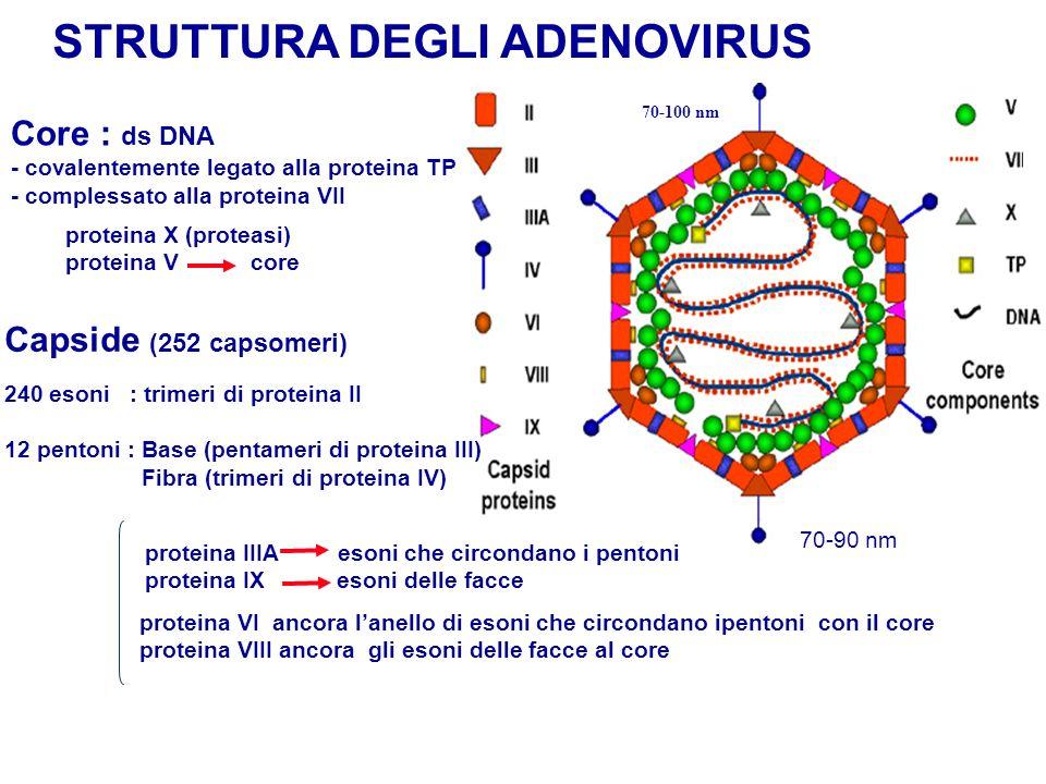 STRUTTURA DEGLI ADENOVIRUS Capside (252 capsomeri) proteina VI ancora lanello di esoni che circondano ipentoni con il core proteina VIII ancora gli es