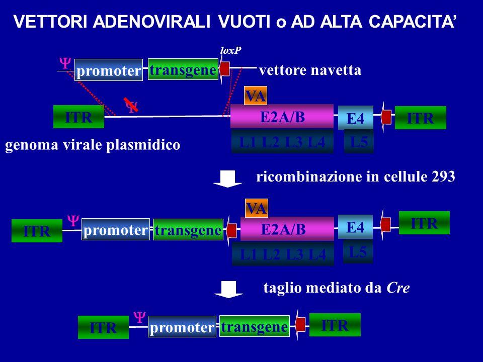 VETTORI ADENOVIRALI VUOTI o AD ALTA CAPACITA genoma virale plasmidico ITR transgene vettore navetta ITR E2A/B ITR L1 L2 L3 L4 VA E4 transgene E2A/B IT