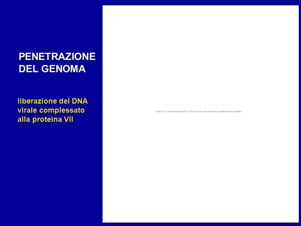 PENETRAZIONE DEL GENOMA liberazione del DNA virale complessato alla proteina VII