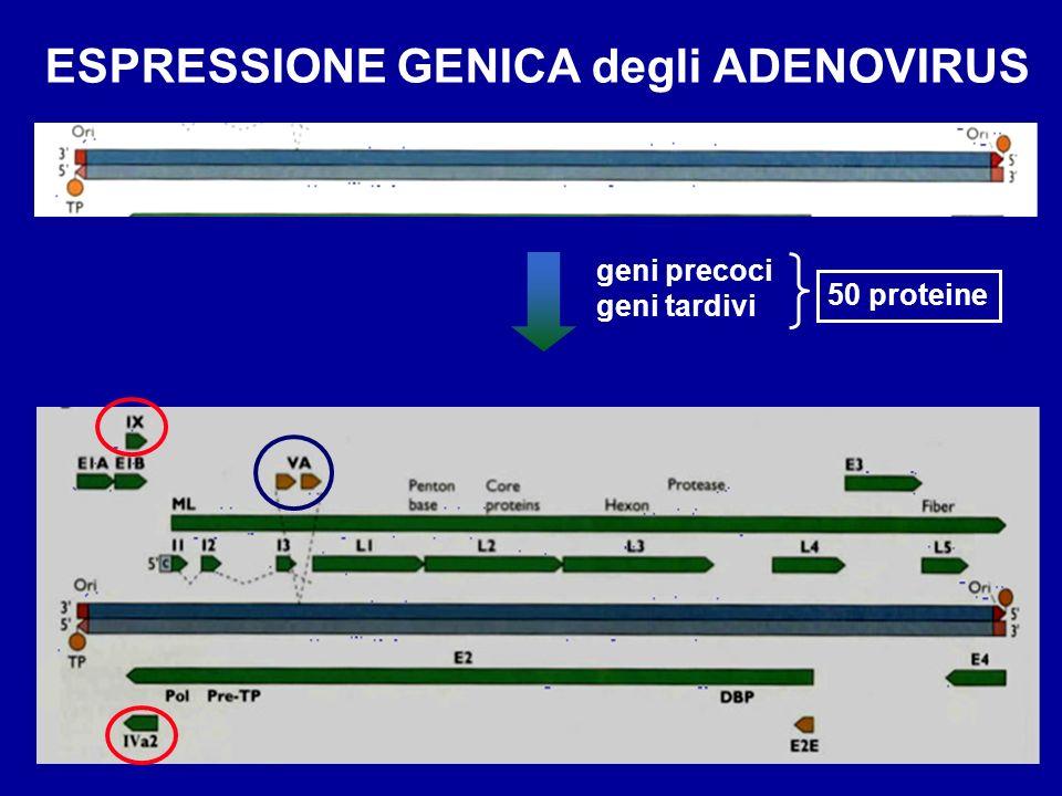 ESPRESSIONE GENICA degli ADENOVIRUS E- geni precoci L- geni tardivi geni precoci geni tardivi 50 proteine