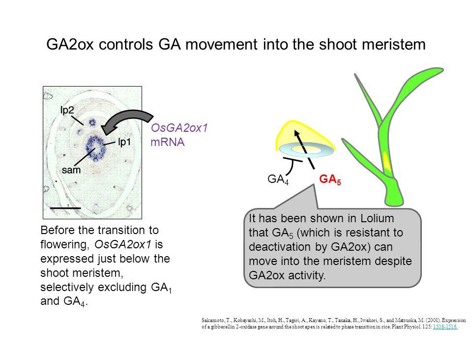 GA2ox controls GA movement into the shoot meristem Sakamoto, T., Kobayashi, M., Itoh, H., Tagiri, A., Kayano, T., Tanaka, H., Iwahori, S., and Matsuok